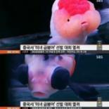 중국 미녀 금붕어 선발대회 개최, 한 마리 가격이 무려...