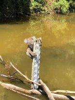 물에 빠진 아기 코알라.. 홍수 표식에 매달려 구사일생