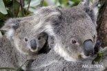 """호주 산불에 고통받는 코알라들.. """"멸종 위기"""""""