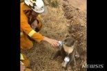 호주 기록적인 산불에 코알라 개체수 3분의 1 줄어