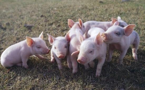 '아기돼지 망치살해사건' 농장 돼지들,소비자 식탁에 올라