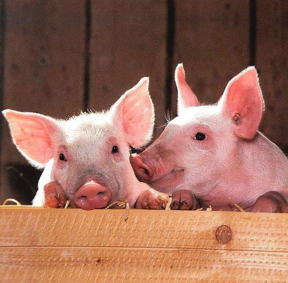 돼지 4마리와 아파트에서 같이 생활하는 여성