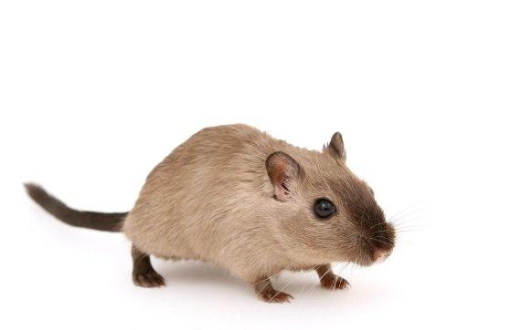 패스트푸드 매장에 나타난 '대형 쥐'