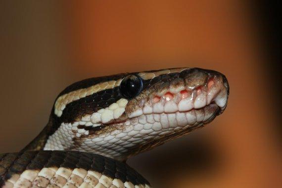 자다가 깼는데 침대서 웅크리고 있던 비단뱀