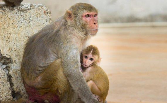 원숭이 뇌에 사람 유전자 이식
