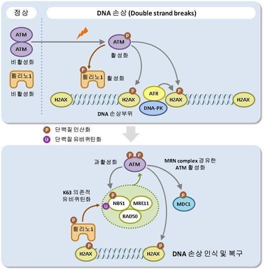 면역 관련 단백질의 DNA 복구 조절기능 발견