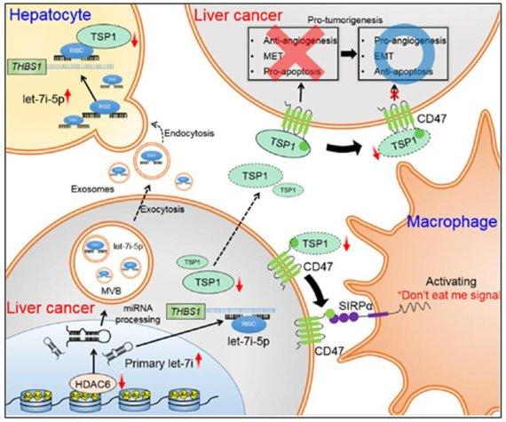 가톨릭대 남석우 교수, 간암세포 억제 효과 및 종양 면역 활성화 기전 발견