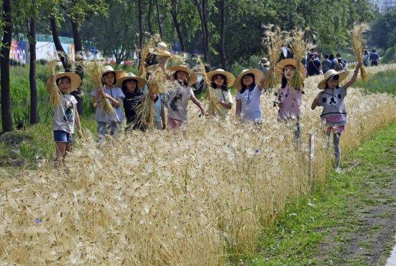 양재천 보리수확 체험행사