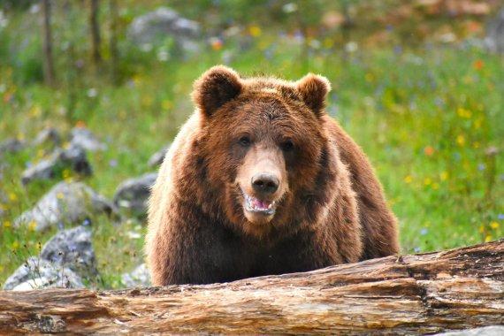 美 사냥꾼 3명, 회색곰 공격에 속수무책 부상.. '충격'