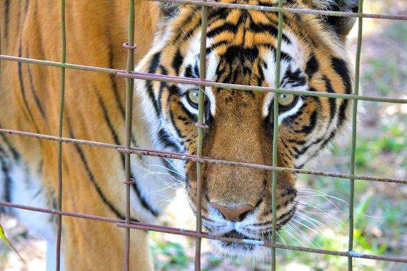 서커스 중 탈출한 호랑이, 포획 후 숨져.. 중국 '시끌'