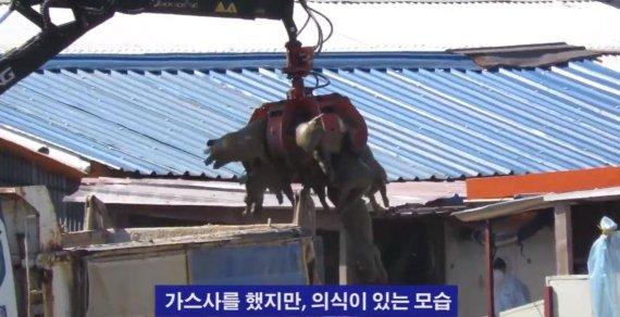 """동물단체 """"아프리카 돼지열병 생매장 살처분 중단하라"""""""