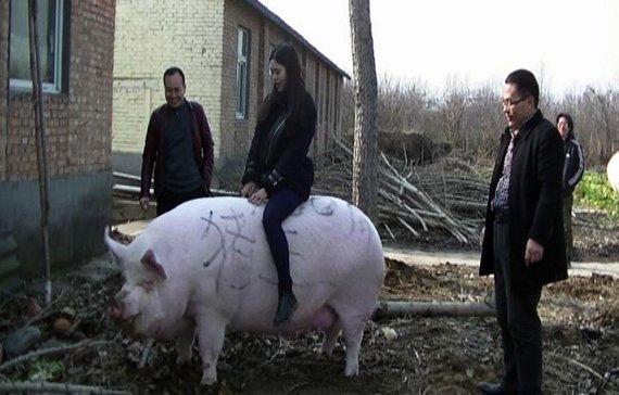 '곰이야?' 중국서 키우는 돼지, 평균 체중이 무려..