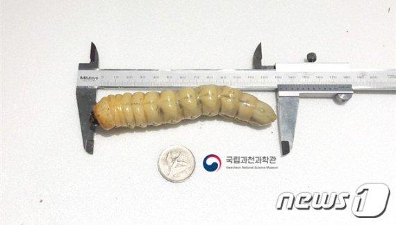 46년 만에 춘천서 발견된 멸종위기 '장수하늘소'
