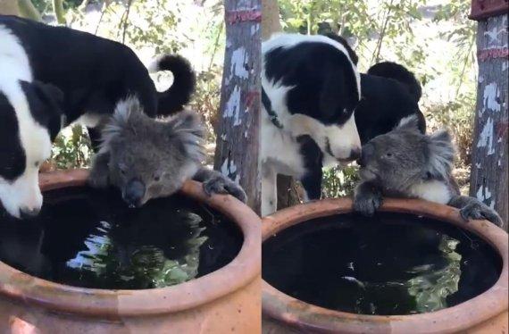 """""""물 좀 먹고 갈게"""".. 목마른 코알라 친구와 물 나눠먹는 강아지 [영상]"""