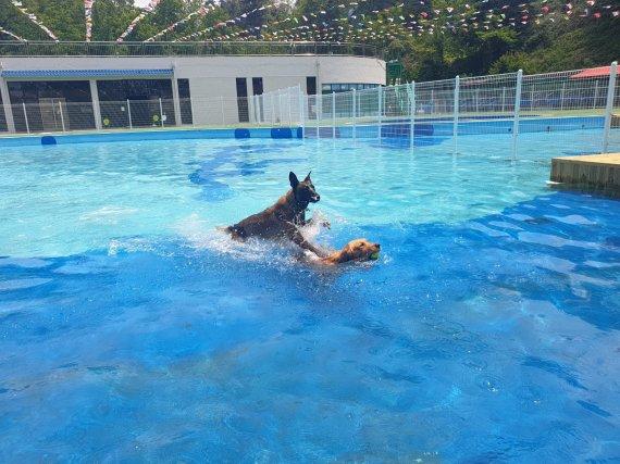 """본격 여름더위 시작..""""반려견과 골드펫리조트로 수영하러 오세요"""""""