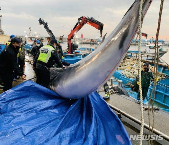 고성 앞바다서 6.35m 잡힌 밍크고래, 알고보니..