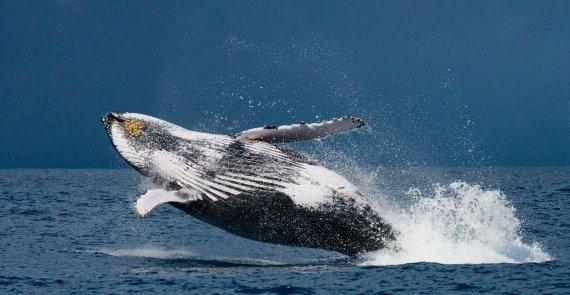 70t짜리 초대형 고래 사체 이탈리아 나폴리항에 떠밀려와