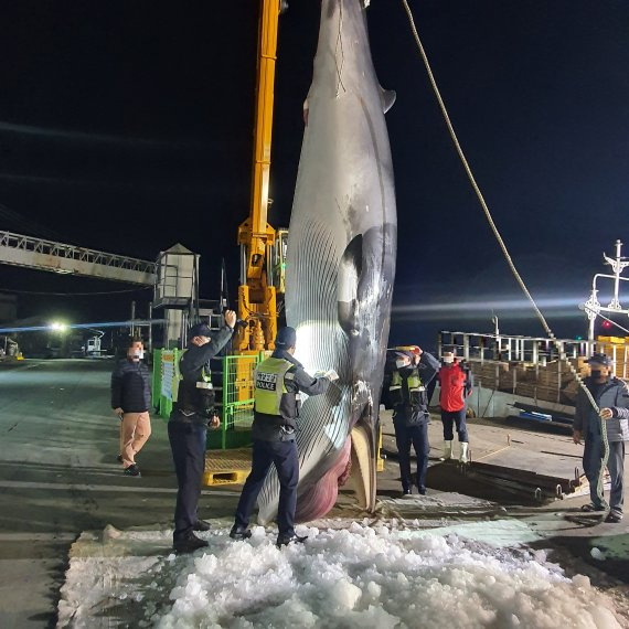 길이 690cm, 무게 4.3톤 밍크고래 그물에 걸려, 가격이 무려..