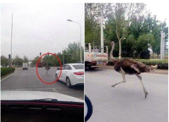 도로 위에서 자동차 사이로 질주하는 타조, 속력은?