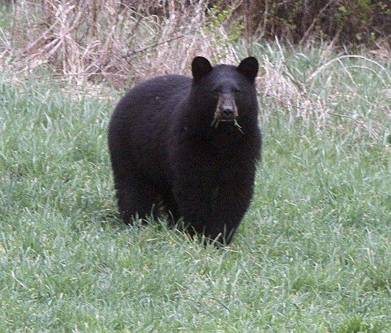 안락사시킨 곰 3마리 뱃속 살펴보니 2마리에게서..