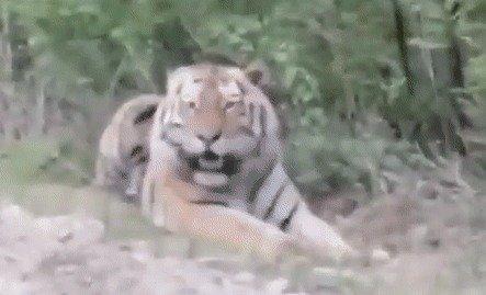 """야생 호랑이에 '소시지' 투척…""""어리석고 위험한.."""""""