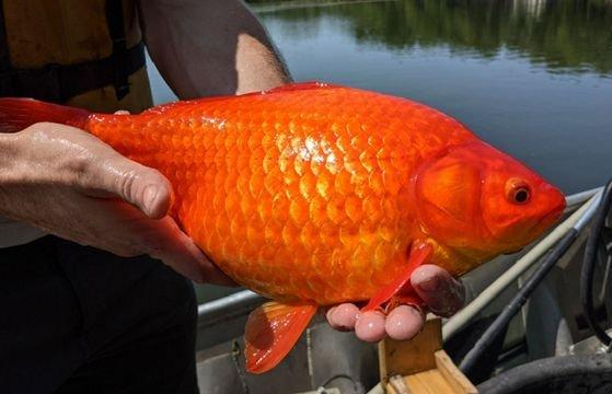 귀여운 금붕어를 호수에 풀었더니 덩치가 9kg