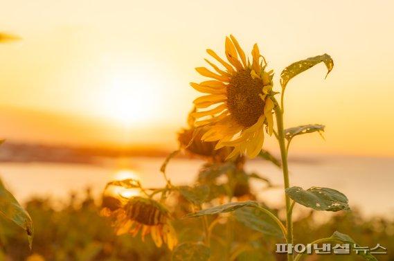 [fn포토] 한껏 기울어진 햇살에 단풍빛 띤 해바라기
