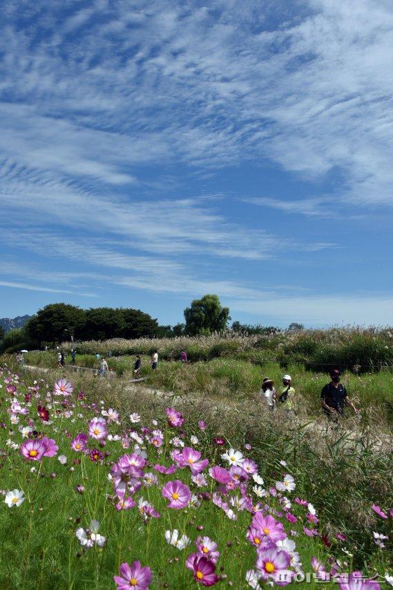 코스모스 피어있는 하늘공원