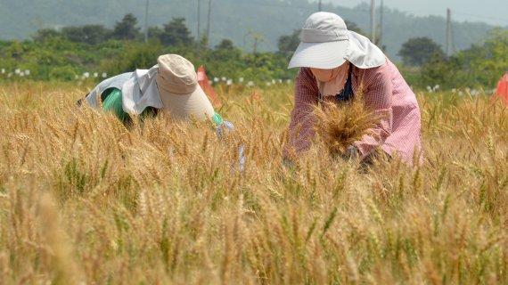 내년 국산 밀 종자 42% 늘려 공급…식량 자급률 향상